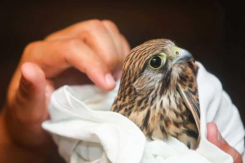 Hawk wrapped in a towel