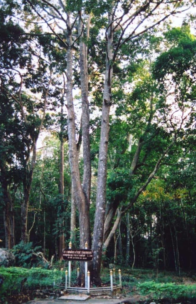 Luan Tree