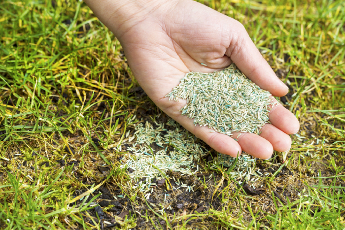 hand holding seeds for overseeding